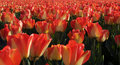 Field red tulips Royalty Free Stock Photo