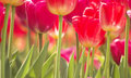 Field of Red Tulips Royalty Free Stock Photo
