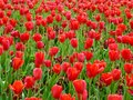 A field of red tulips blooming Royalty Free Stock Photo