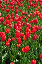 Field of red tulips in full bloom love Royalty Free Stock Photo