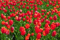 Field of romantic red tulips in full bloom Royalty Free Stock Photo