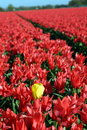 Field of red tulips with one yellow Stock Photos