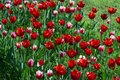 Field of red and white tulips. spring flowers on sunny day