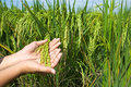 Field rice Royalty Free Stock Image