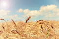 Field of ripe golden wheat against a blue sky Royalty Free Stock Photo