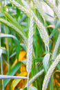 Field of ripe triticale ears Royalty Free Stock Photo