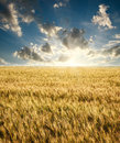 Field of ripe wheat on a background sunrise on blue sky Royalty Free Stock Photo