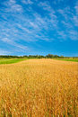 Field of ripe wheat and clouds on the sky. Stock Image