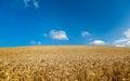Field of ripe wheat Royalty Free Stock Photo