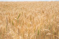 Field of ripe wheat ready for harvesting ears golden as grain in a full frame close up view the cereal Stock Photo