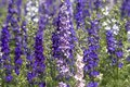 Field of Rocket Larkspur Royalty Free Stock Image