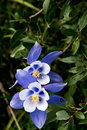 Field with Rocky Mountain blue columbine flowers Royalty Free Stock Photo