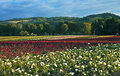 Field of roses oregon fields cultivated in evening sunlight sauvie island Stock Photography