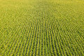 Field with rows of corn plants aerial view a farm Royalty Free Stock Images