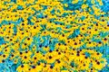 Field of Rudbeckia hirta, aka black-eyed-Susan flowers Royalty Free Stock Photo
