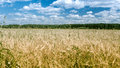 Field of rye summer landscape a and sky Stock Photography