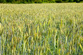 Field of rye in the warm evening sun summer by honzrath saarland germany Royalty Free Stock Image