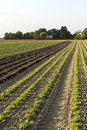 Field of salads agricultural fields green and red Stock Photography