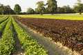 Field of salads agricultural fields green and red Royalty Free Stock Photos