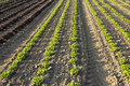 Field of salads agricultural fields green and red Royalty Free Stock Images