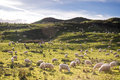 Field of sheep farm healthy wooly white feeding on green grass under blue sky new zealand Royalty Free Stock Photo