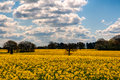 Field showing beautiful colourful rape seed with dramatic sky Stock Images