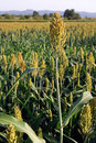 Field of sorghum Royalty Free Stock Photo