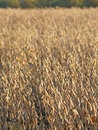 Field of soy beans golden ripe taken with a shallow depth suitable for background Royalty Free Stock Photos
