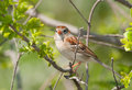 Field sparrow resting in a bush spring Stock Images