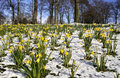 Field of Spring Daffodill Royalty Free Stock Images