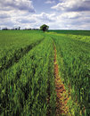 Field of spring green wheat Royalty Free Stock Photo