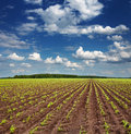 Field with sprouting crops Royalty Free Stock Images