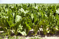 Field with sugar beet Royalty Free Stock Photo