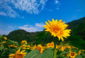 The field of Sun flower Royalty Free Stock Photos