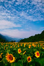 Field of sunflower Stock Photography