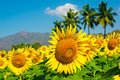 Field of sunflower on the cloudy blue sky with palm trees and mountains Stock Photos
