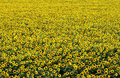 Field of sunflower france a Stock Photos