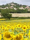 Field of sunflower with Le Crest village Stock Images