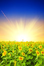 Field of sunflower at sunset Royalty Free Stock Photo