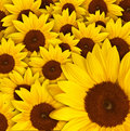 Field of sunflowers Stock Image