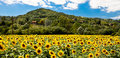 A field of sunflowers Royalty Free Stock Photo