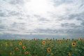 Field of sunflowers against the background of a cloudy sky Royalty Free Stock Photo