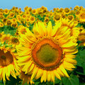 A Field Of Sunflowers On Blue ...