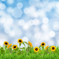 Field of sunflowers on blue sky background in sunny day Royalty Free Stock Photo