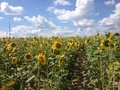 Field of Sunflowers with Blue Sky and Clouds Royalty Free Stock Photo