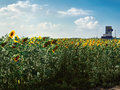 A field of sunflowers on a bright sunny summer day on a background of the cloudy sky Royalty Free Stock Photo