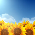 A field of sunflowers and a clear sky.