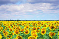 Field of sunflowers and cloudy blue sky Royalty Free Stock Photo