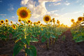 Field of sunflowers composition nature Royalty Free Stock Photo