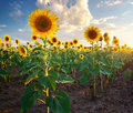 Field of sunflowers composition nature Stock Photo